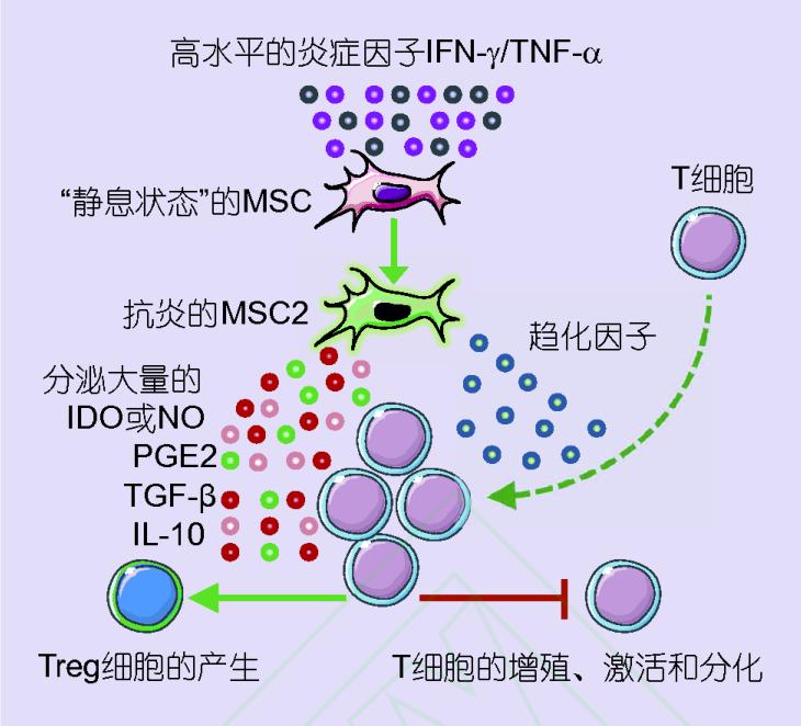间充质干细胞